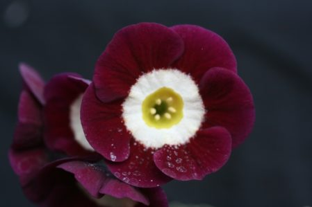 PRIMULA auricula Woottens Bloody Warrior - Woottens Plant Nursery