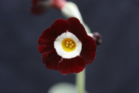 PRIMULA auricula Woottens Morello - Woottens Plant Nursery Suffolk