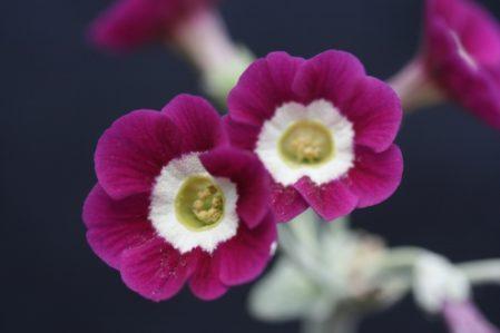PRIMULA auricula Woottens Papal Socks - Woottens Plant Nursery.