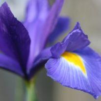 Iris x hollandica Sapphire Beauty