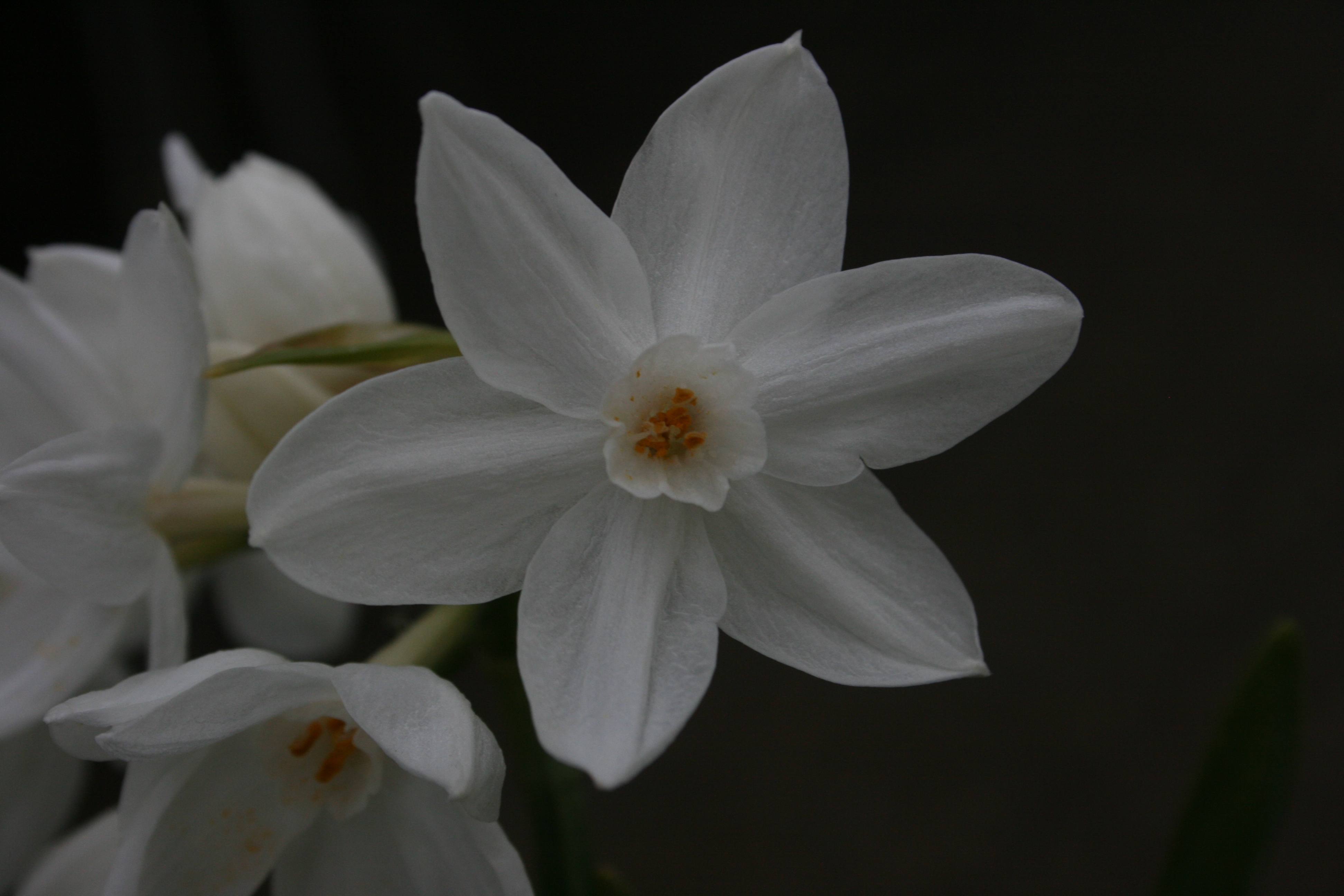 SPECIAL OFFER Paperwhites Narcissus Ariel photo