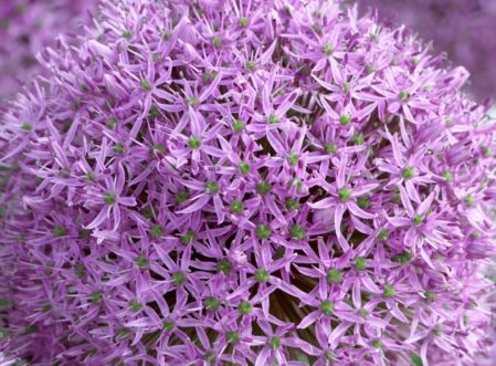 SPECIAL OFFER Allium Offer One