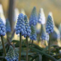 Muscari armeniacum Valerie Finnis - Woottens Plant Nursery