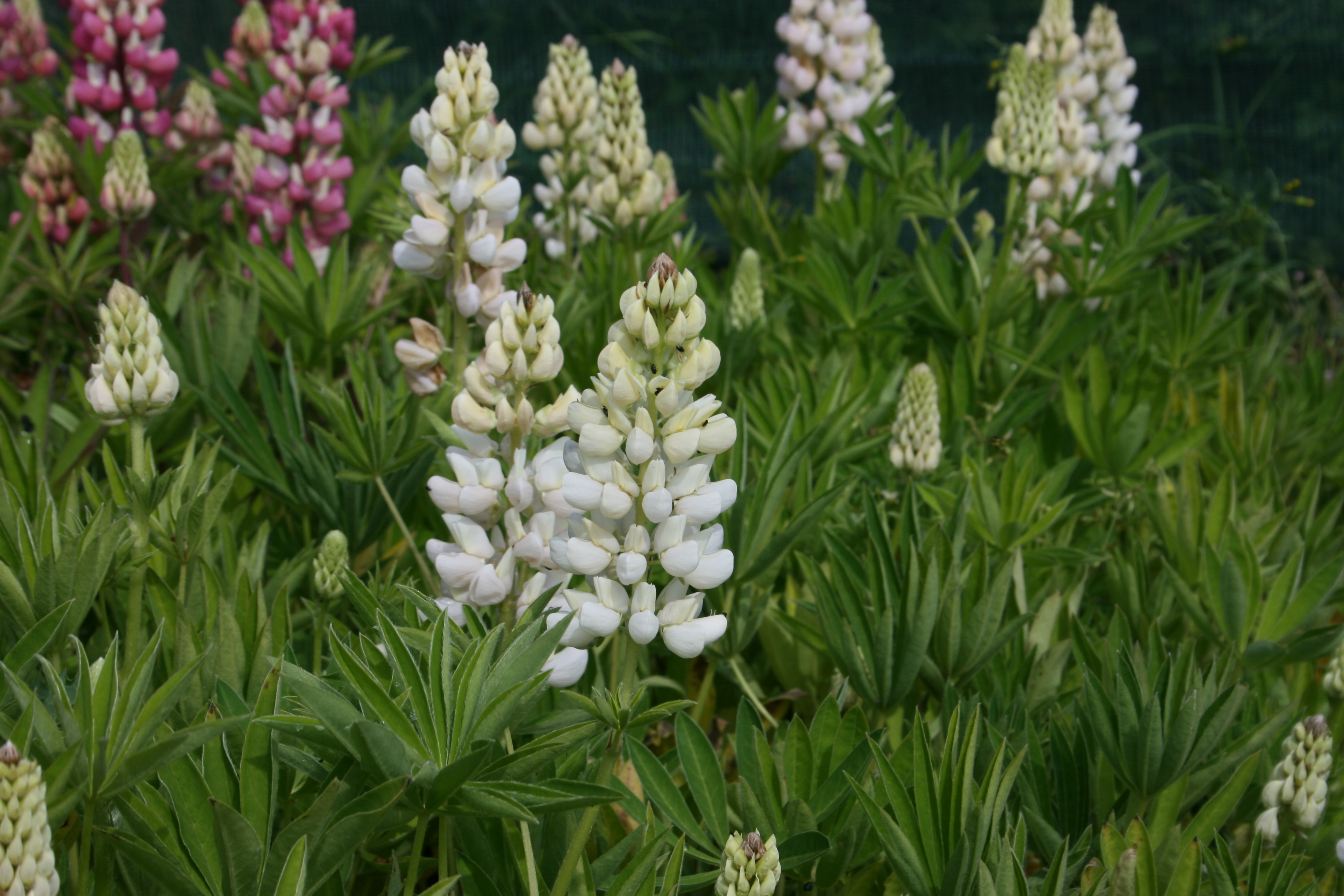 SPECIAL OFFER Lupin Collection photo