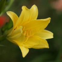 HEMEROCALLIS Dorothy McDade Woottens Plant Nursery