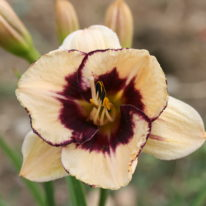 HEMEROCALLIS Eye Catching Woottens Plant Nursery