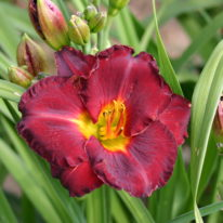 HEMEROCALLIS Invitation To Immortality Woottens Plant Nursery