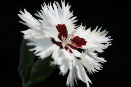 SPECIAL OFFER Dianthus Alpine Varieties
