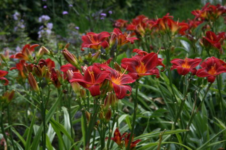 HEMEROCALLIS Chicago Knockout. Woottens Plant Nursery