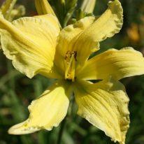HEMEROCALLIS Spider Miracle. Spider Daylily. Woottens Plant Nursery