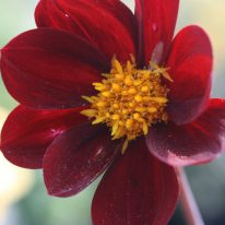 Dahlia Mexican Black - Woottens Plant Nursery. Mexican Star.