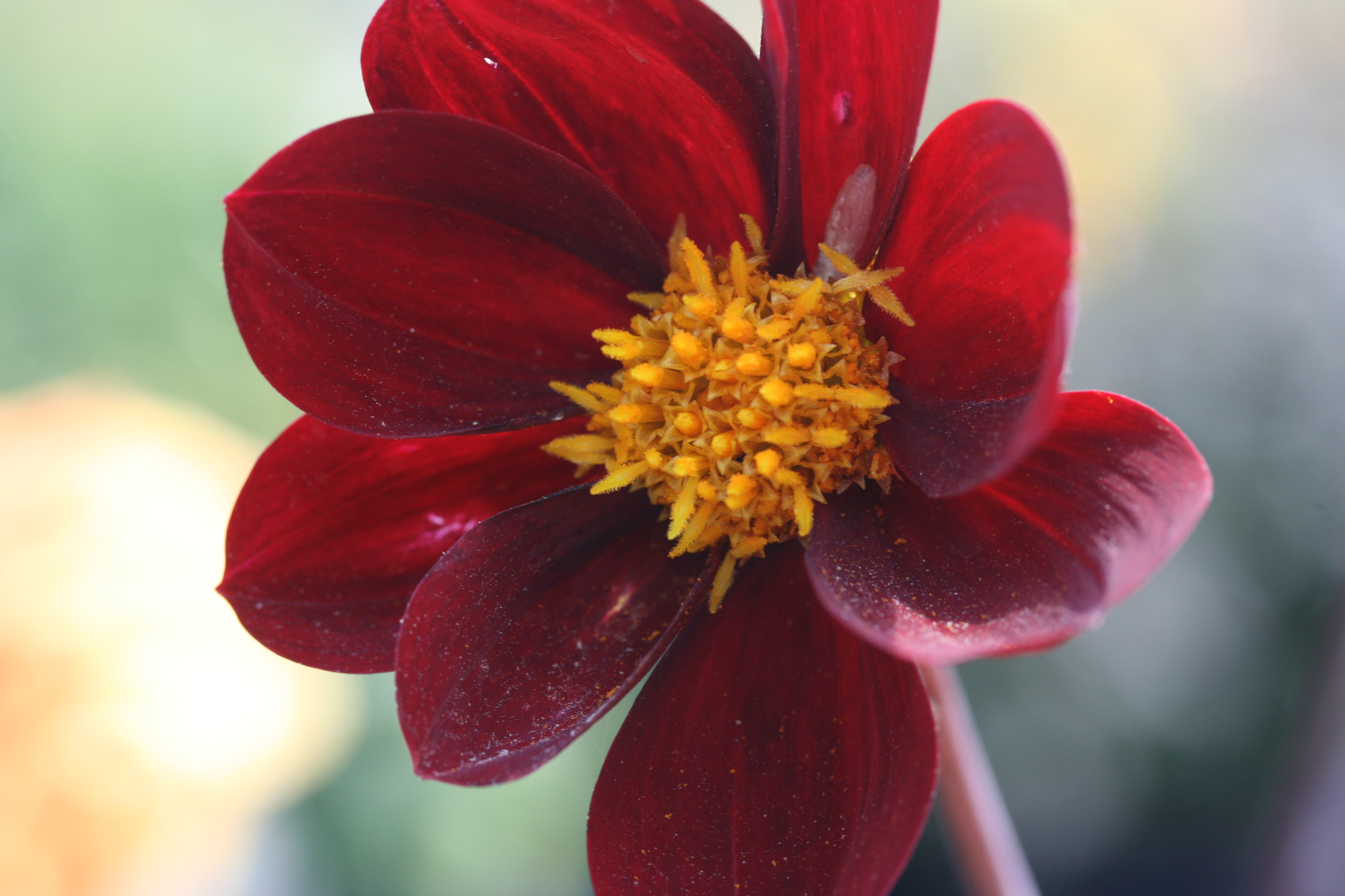 SPECIAL OFFER Dahlia Dark Reds Collection photo