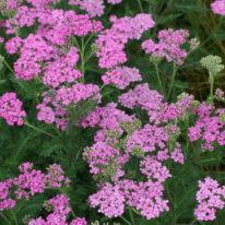 ACHILLEA Pink Form- Perennial Yarrow - Woottens Plant Nursery