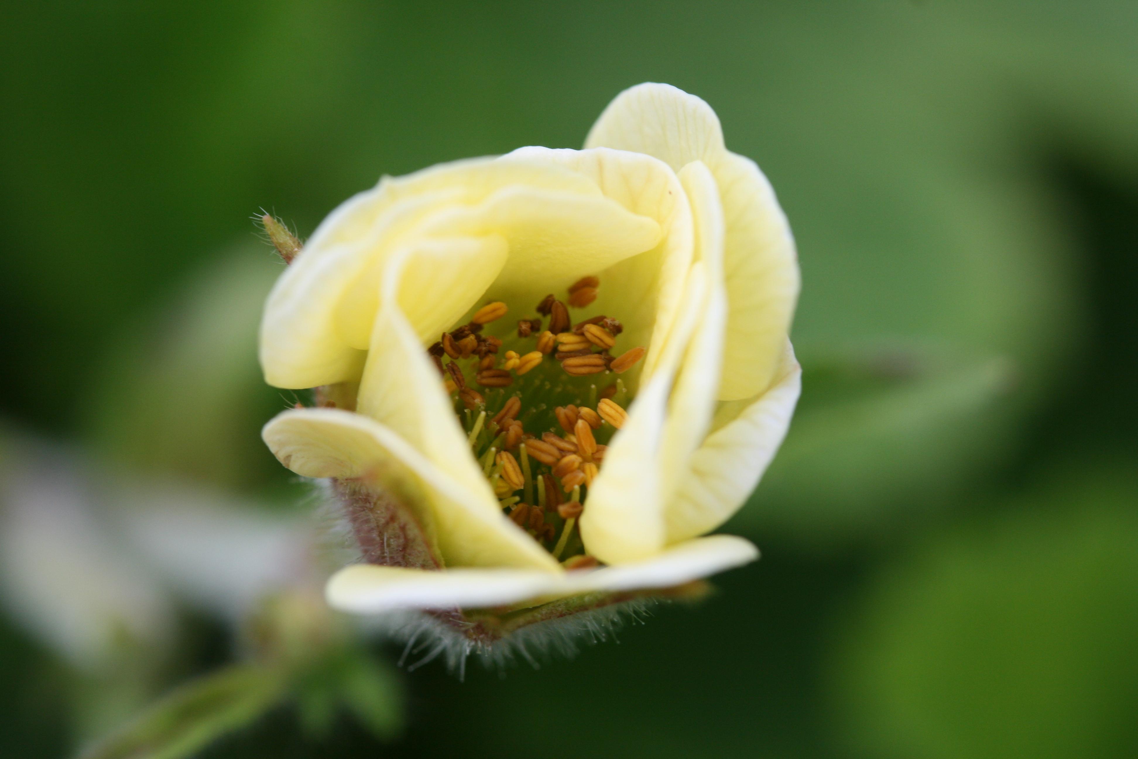 GEUM Lemon Drops photo