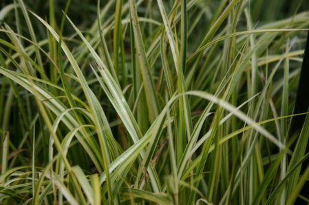 ACORUS gramineus Ogon - Woottens Plant Nursery