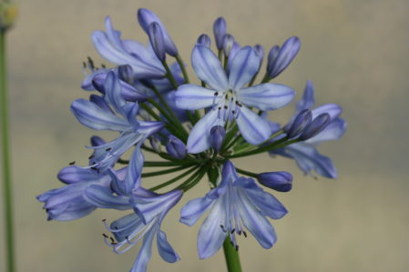 Agapanthus Blue Heaven - Woottens Plants