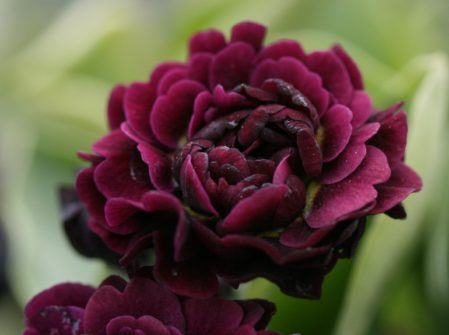 PRIMULA auricula Camelot - Woottens Plant Nursery