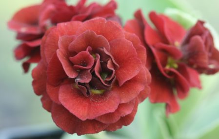 PRIMULA auricula Forest Fire - Woottens Plant Nursery Suffolk