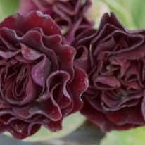 PRIMULA auricula Forest Twilight - Woottens Plant Nursery Suffolk
