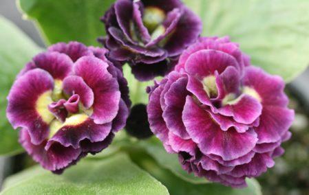PRIMULA auricula Lancelot - Woottens Plant Nursery Suffolk