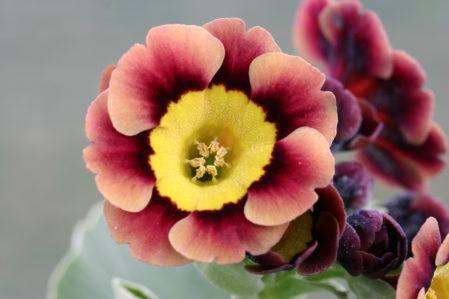 PRIMULA auricula Pixie - Woottens Plant Nursery Suffolk