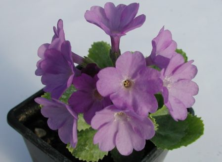 PRIMULA marginata - Woottens Plant Nursery Suffolk