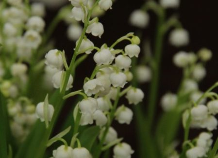 Convallaria majalis - Lily of the Valley. Woottens Plant Nursery