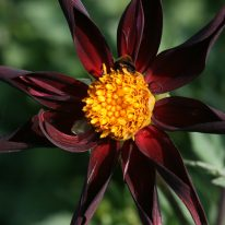 Dahlia Veronnes Obsidian - Woottens Plant Nursery. Star Dahlia