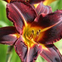 HEMEROCALLIS Bamboo Blackie. Daylily. Woottens Plant Nursery