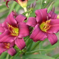 HEMEROCALLIS Dark Sprite Woottens Plant Nursery