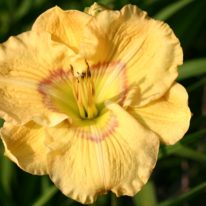HEMEROCALLIS Etched Eyes Woottens Plant Nursery