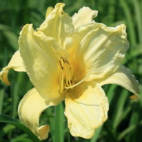 HEMEROCALLIS Give Me Eight Woottens Plant Nursery