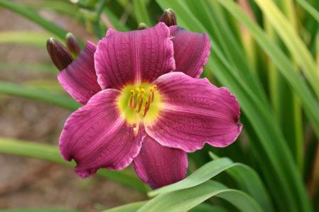 HEMEROCALLIS Grape Velvet Woottens Plant Nursery