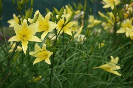 HEMEROCALLIS Hyperion Woottens Plant Nursery