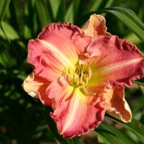 HEMEROCALLIS Joie De Vivre Woottens Plant Nursery