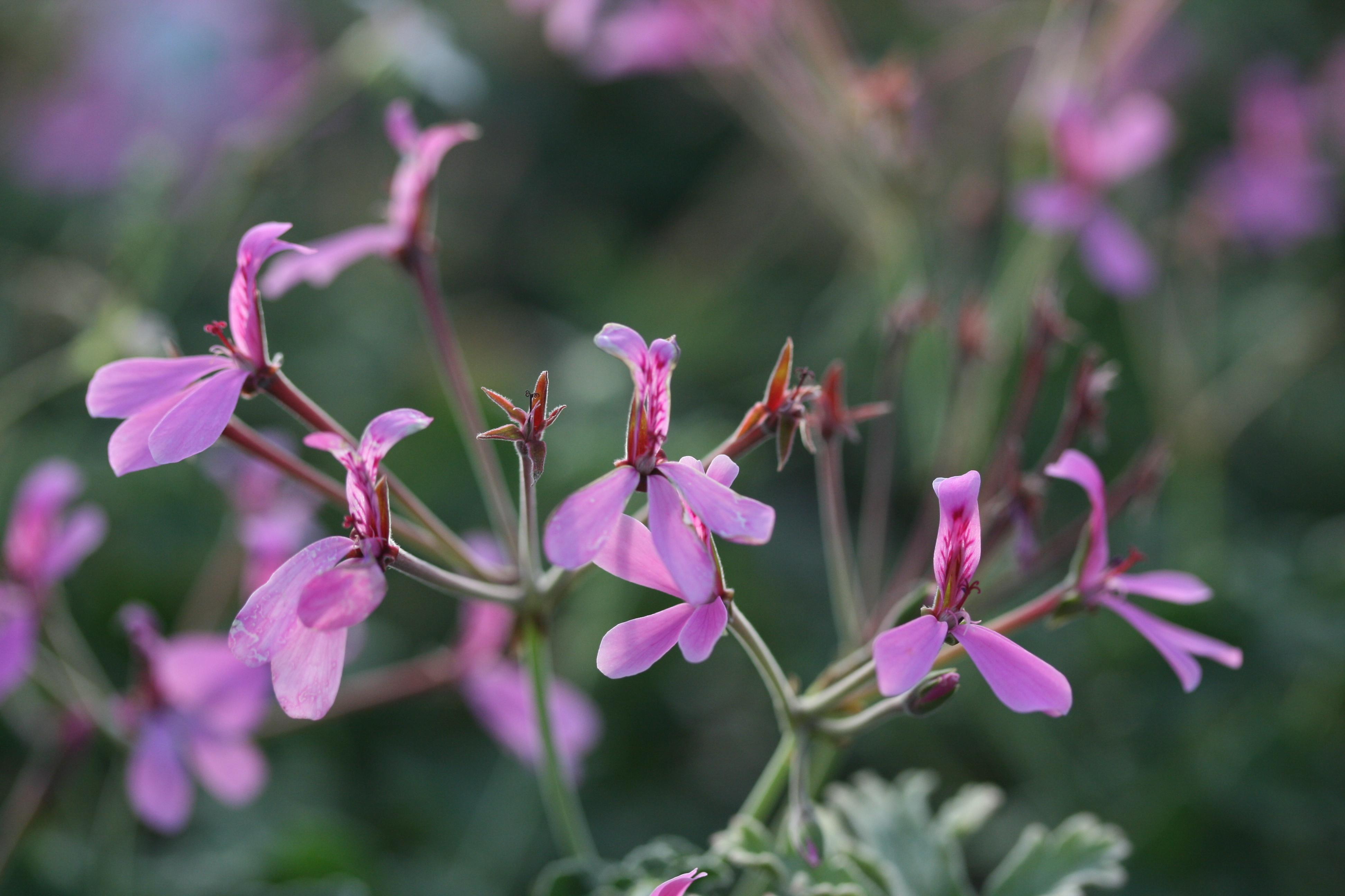 25b67f1f027b PELARGONIUM Lavender Lindy Scented Leaf Pelargonium - Woottens