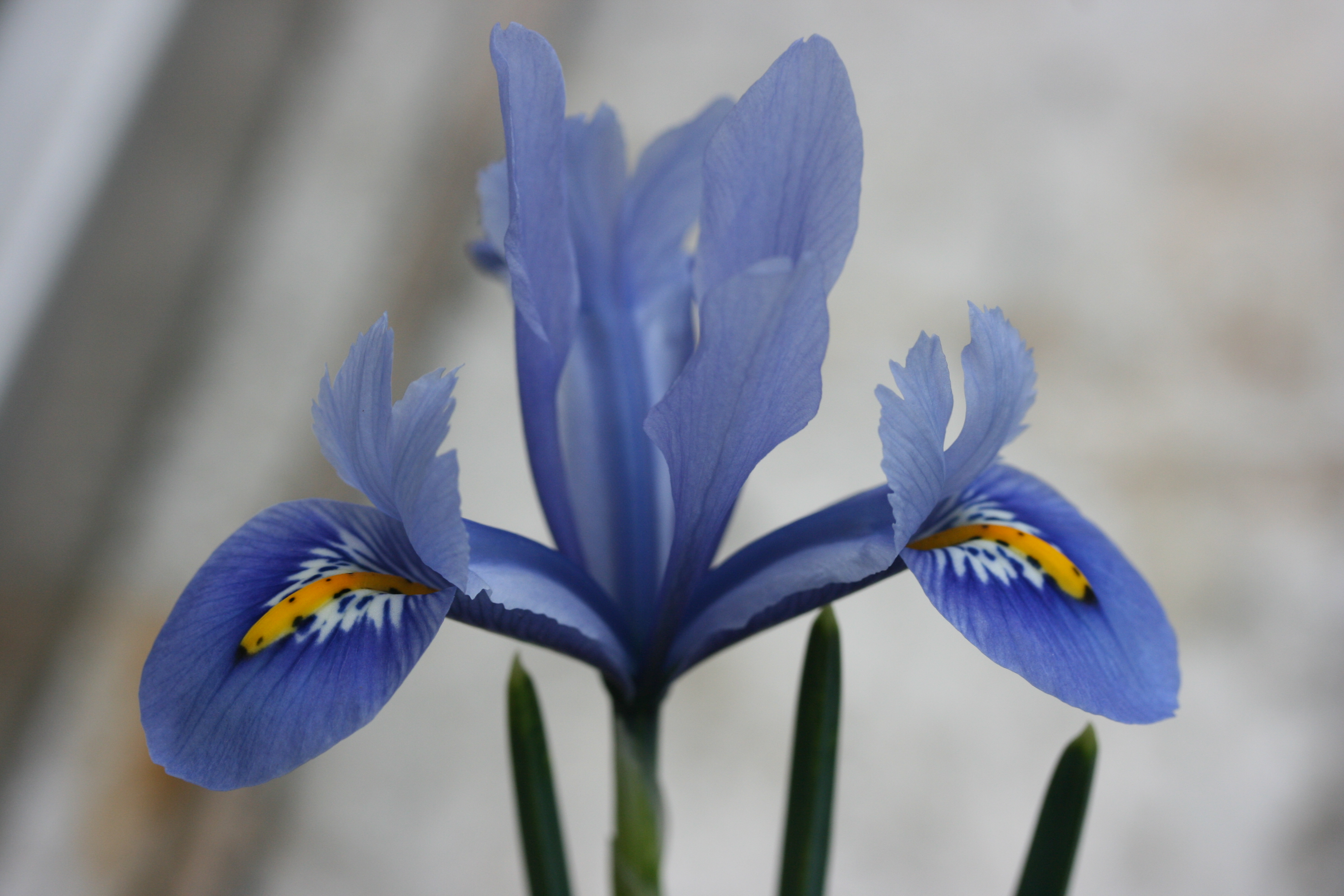 SPECIAL OFFER Iris reticulata Collection photo