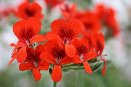 PELARGONIUM Lara Beacon. Species Pelargonium - Woottens