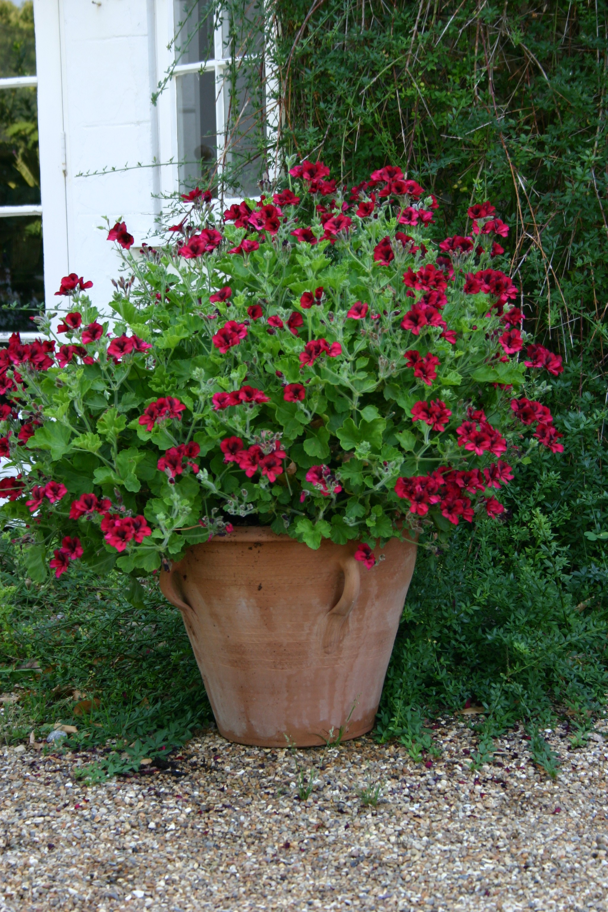 PELARGONIUM Voodoo photo