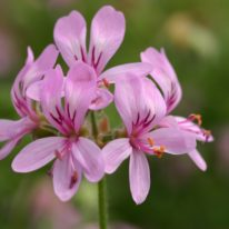 PELARGONIUM denticulatum. Species Pelargonium - Woottens
