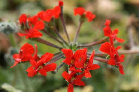 PELARGONIUM fulgidum. Species Pelargonium - Woottens Plant Nursery