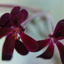 PELARGONIUM sidoides. Species Pelargonium - Woottens Plant Nursery