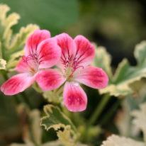 PELARGONIUM Phyllis. Unique Pelargonium - Woottens Plant Nursery