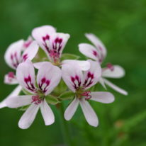 PELARGONIUM radens. Species Pelargonium - Woottens Plant Nursery