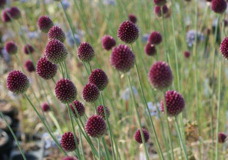 ALLIUM sphaerocephalon - Woottens Plant Nursery
