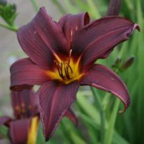 Hemerocallis Black Knight. Spider Daylily. Woottens Plant Nursery