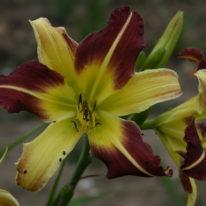 HEMEROCALLIS Cleo. Spider Daylily. Woottens Plant Nursery
