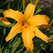 HEMEROCALLIS Golden Marvel. Spider Daylily. Woottens Plant Nursery