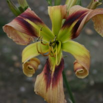 HEMEROCALLIS Technical Knockout. Spider Daylily. Woottens