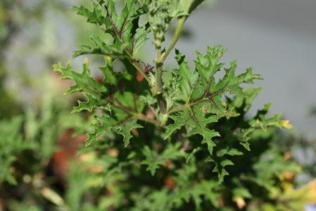 PELARGONIUM pseudoglutinosum. Species Pelargonium - Woottens